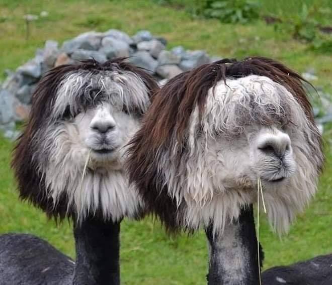 Lamas zum Lachen